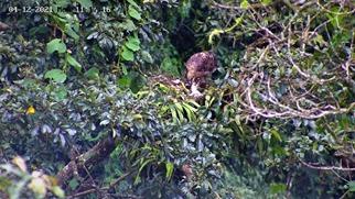 Photo of Elang Jawa Bertambah Populasi, PEH Pantau Langsung
